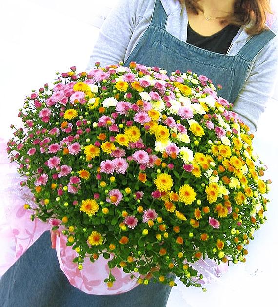 秋咲きガーデンマムのメガ盛り鉢植え〜グランデ サイズ (ジジ3色)