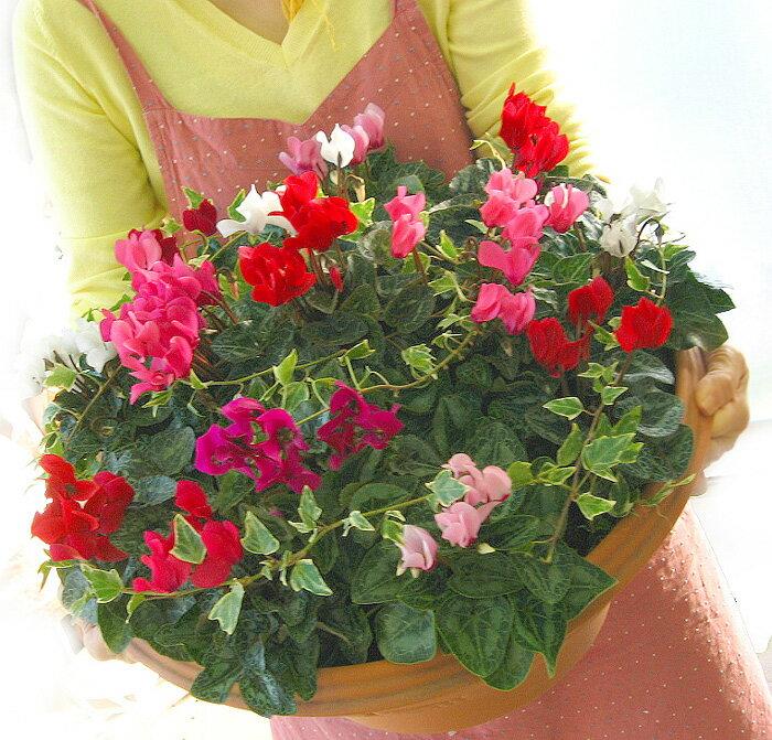 [送料無料]ガーデンシクラメンのメガ盛り寄せ植え「ジュエリーBOX〜Grande」