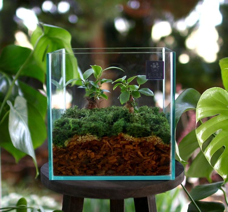 送料無料 観葉植物 [テラリウム Mサイズ] (ガジュマル×2) (ガラス ケース インテリア 完成品 観葉植物 モダン アクアリウム おしゃれ 水槽 開店祝い 新築祝い