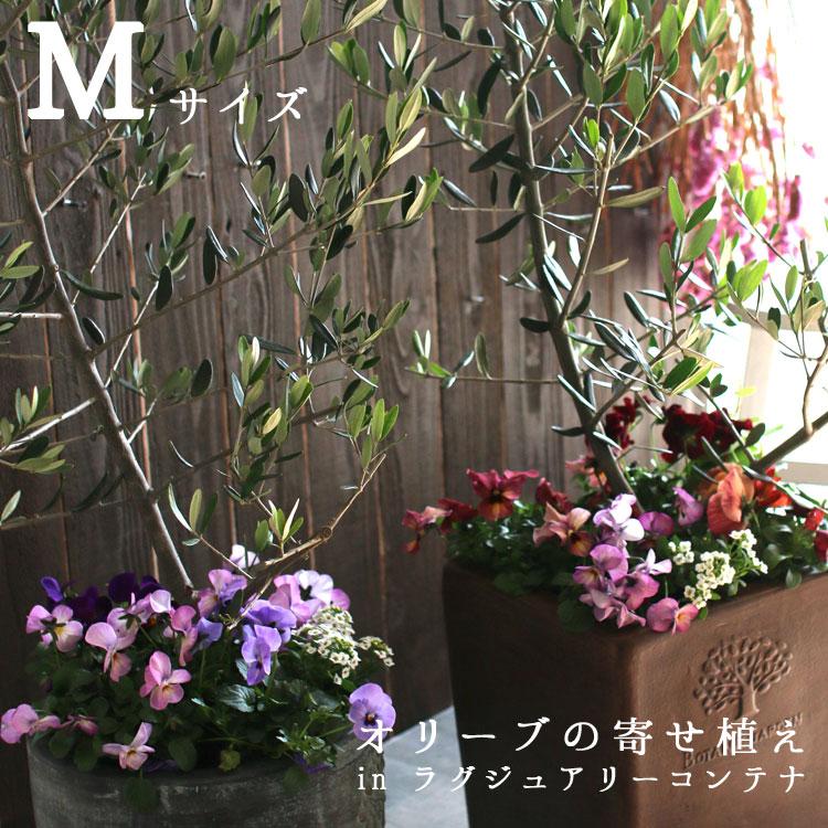 【送料無料】「オリーブの木 寄せ植え in ラグジュアリーコンテナ M(高さ110cm〜130cm)