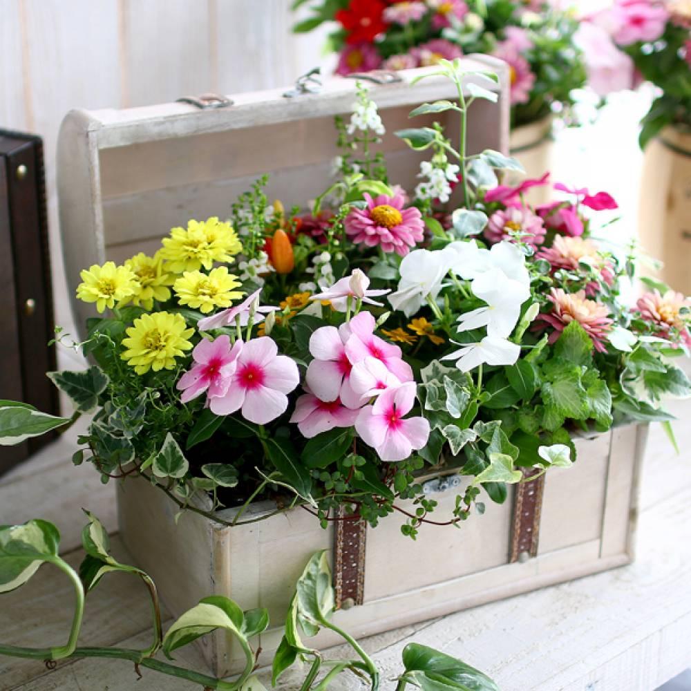 【数量限定】【送料無料】「おまかせプレミア寄せ植え in トレジャーBOX〜Mサイズ〜」精巧な作りのアンティークBOXに季節の花苗をアレンジ。