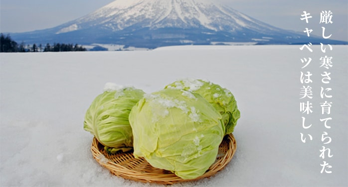 【高糖度】北海道産 雪下キャベツ