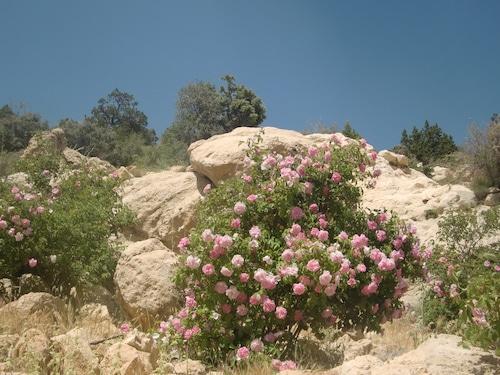 ペルシャ野生のバラ