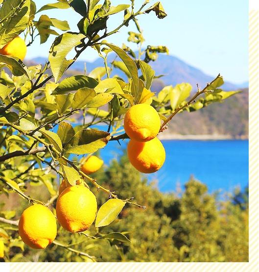 温暖で雨の少ない瀬戸内の気候は、レモン栽培にとても適した環境です。
