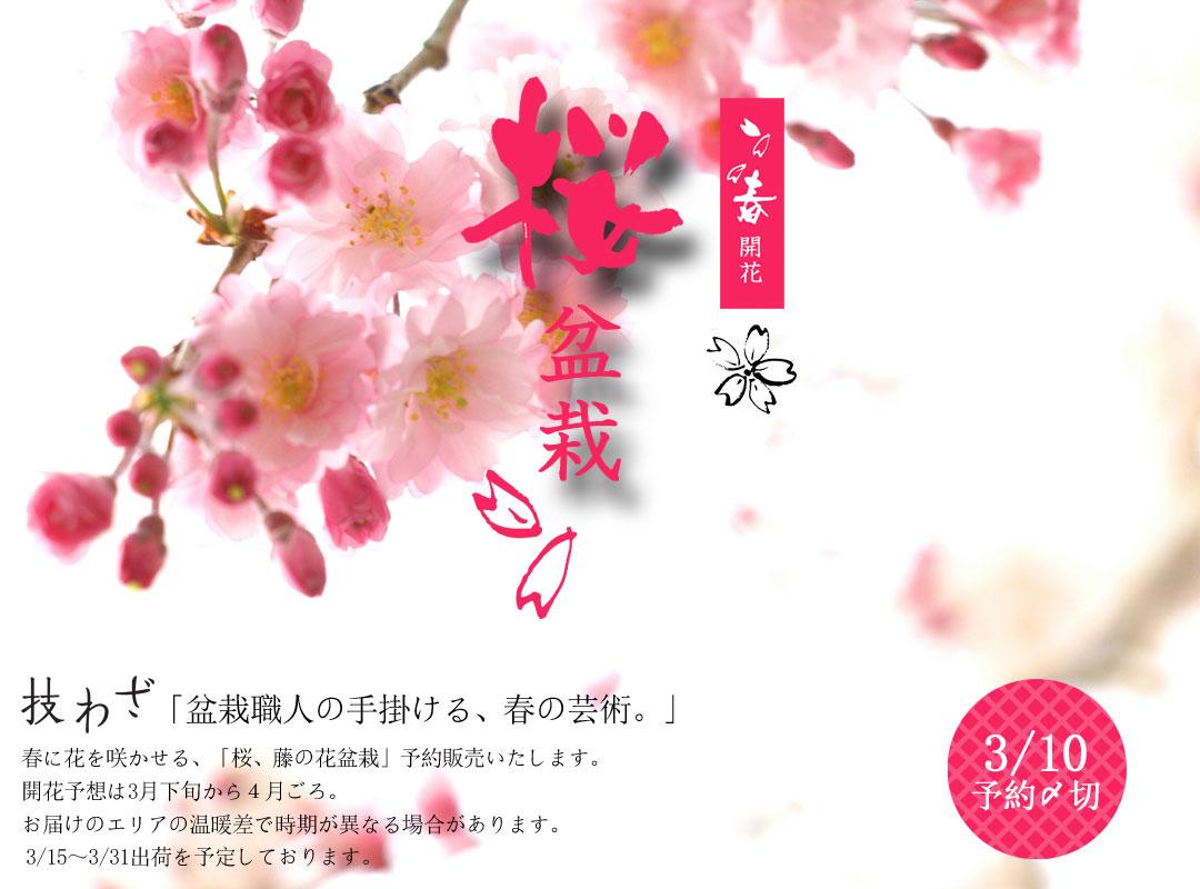 LP_おすすめ_桜盆栽2021