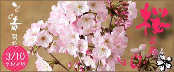 桜盆栽2021