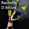 バオバブ中型盆栽