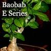 バオバブミニ盆栽