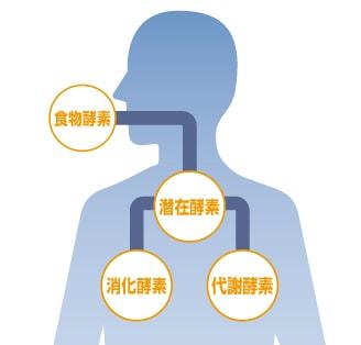 体内酵素の図