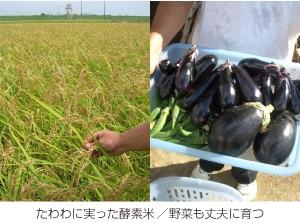たわわに実った酵素米/高級野菜のトウノイモ