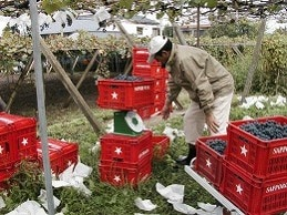 yamanashi vineyard2