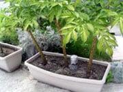 2年生から栽培